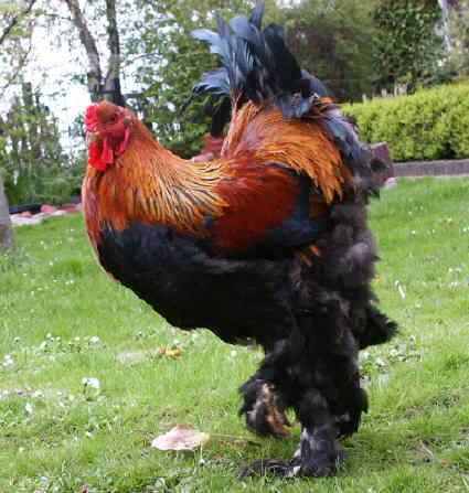 Wie groß ist der größte Hahn